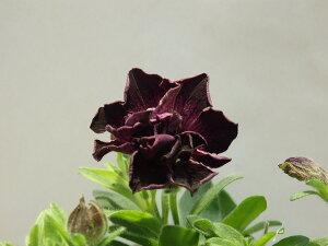 八重咲きペチュニア 魔界 10.5cm鉢