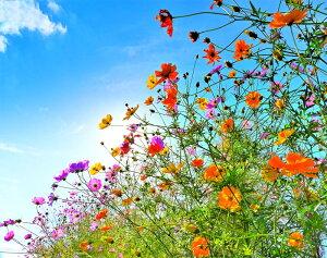太陽とコスモス 風景写真パネル 65.2×53×厚さ2.4センチ OT-002-f15壁飾りやインテリアに美しい風景写真パネルを。ディスプレイ 模様替え タペストリー 風景ポスターに最適。新築祝い 引っ