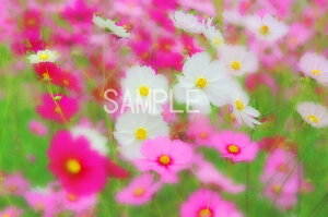 コスモス 秋桜 花 6切W写真 【RCP】 6W-102壁飾りやインテリアに美しい風景写真を。ディスプレイ 模様替え タペストリー 風景ポスターに最適。新築祝い 引っ越し祝いプレゼントなどにも