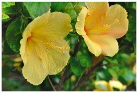 ポストカード5枚で【送料無料】インテリアアート 美しい風景写真 花 海 写真 風景 空 雲 ボタニカル 沖縄の植物 〜幸せを呼ぶ黄色黄色いハイビスカス〜