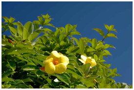 ポストカード5枚で【送料無料】南大東島3/オオバナアリアケカズラ 沖縄風景写真美しい風景写真のポストカードや絵はがきはいかがですか? クリスマスカード残暑見舞い 寒中見舞いグリーティングカード 礼状や引っ越し挨拶などにも。