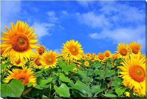 風景写真パネルキャンバス地 青い空とひまわり 福島 72.8×51.5cm sok-406-b2 側面までプリント 絵画 アート,絵画 壁掛け,ポスター 風景,ポスター インテリア,壁掛け アート アートパネル,アートポ