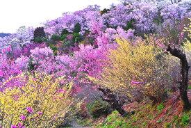 風景写真ポスター 福島 桃源郷 花見山14 プレゼント ギフト お祝い 結婚 新築 誕生日 記念日 年祝い PSHANA-10