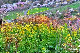 風景写真 福島 桃源郷 花見山15 菜の花のハート ボタニカル 癒し オシャレ 6W-hana-02