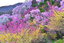 風景写真 福島 桃源郷 花見山19 ボタニカル 癒やし オシャレ モダン 6W-hana-04