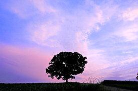 北海道美瑛 セブンスターの木 夕暮れ 風景写真パネル 72.7×50cm HOK-38-M20【楽ギフ_包装】 【楽ギフ_のし宛書】 【楽ギフ_名入れ】