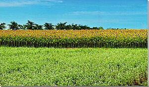 猪苗代/ひまわり 風景写真パネル 125×70cm BIG-16