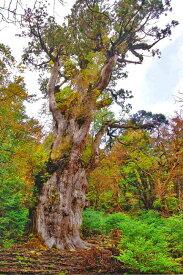 風景写真ポスター鹿児島県 屋久島 縄文杉 自然の力が湧き出てくる osp-44