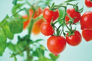 ガーデニングハートマトハートの実がなるハートマト栽培セット観葉植物ガーデニング栽培キット聖新陶芸ギフトプレゼント