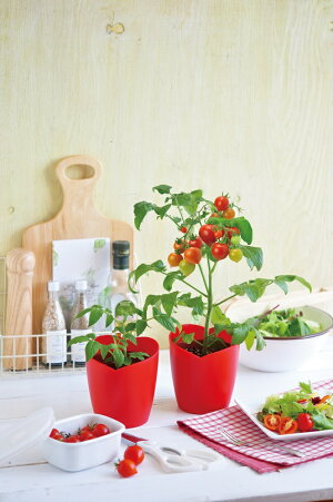 ハートマトハートの実がなるハートマト栽培セット観葉植物ガーデニング栽培キット聖新陶芸ギフトプレゼント