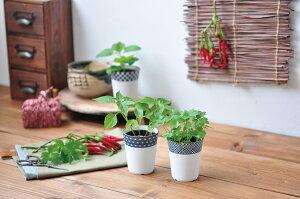 薬味小鉢しそ栽培キットシソ大葉青ジソ観葉植物ガーデニング聖新陶芸ギフトプレゼント
