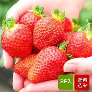 博多あまおう イチゴ 2パック入 いちご 福岡県産