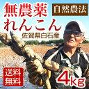 【送料無料】れんこん 無農薬 4キロ 佐賀県白石産 自然農法栽培のれんこん