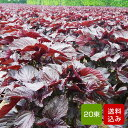 【送料無料】赤しそ 葉 20束 梅干し用 赤紫蘇ジュース用