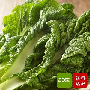 かつお菜 20束 カツオ菜/かつおな/カツオナ/鰹菜 ご予約品
