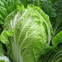 白菜 1玉 福岡産 白菜