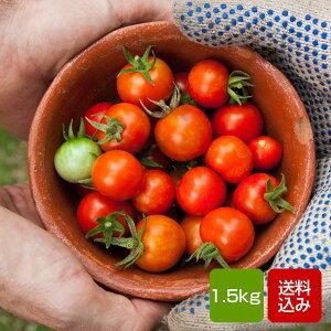トマト 1.5kg ミニトマト 長崎県産  お歳暮 ギフト 送料無料