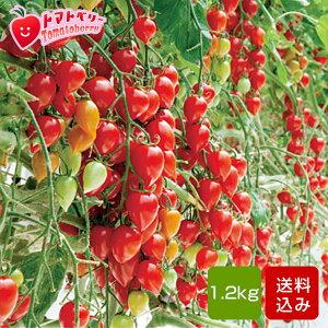 フルーツトマトトマトベリー