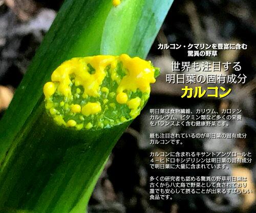 【送料無料】八丈島産明日葉パウダー70g増量パック(1ヵ月分)カルコンを1番含む時期に収穫した明日葉でつくった明日葉粉末です。