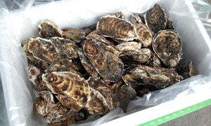訳あり規格外牡蠣5kg/北海道/知内町/生牡蠣/殻付き/生食用/