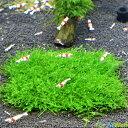 【新春SALE】【無農薬】ウィローモスマット 縦10cmx横10cm