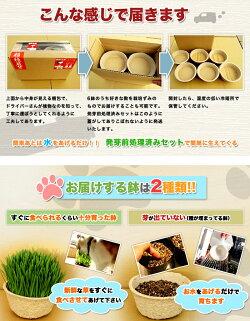 【産地直送便】【送料込み!】猫草・栽培済み2鉢セット長さの違う2鉢セット