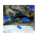 シリキルリスズメ 2〜3cm
