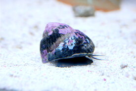シッタカ貝 10匹