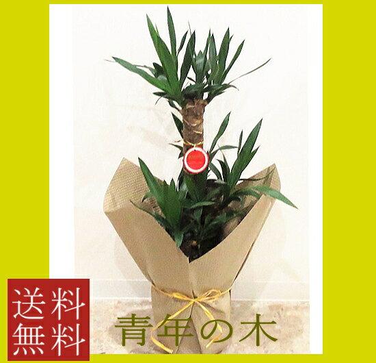 観葉植物 ユッカ 7号 【青年の木】【開店祝い】【新築祝い】【誕生日】