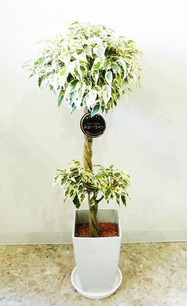 観葉植物 ベンジャミン 観葉植物 7号 フィッカス ベンジャミナ スターライト  鉢皿付き 7号【開店祝い】【新築祝い】【誕生日】