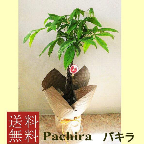 観葉植物 パキラ 7号【開店祝い】【新築祝い】【誕生日】【退職祝い】【御祝い】