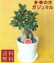 観葉植物 ガジュマル 5号 【御年賀】【開店祝い】【新築祝い】【誕生日】