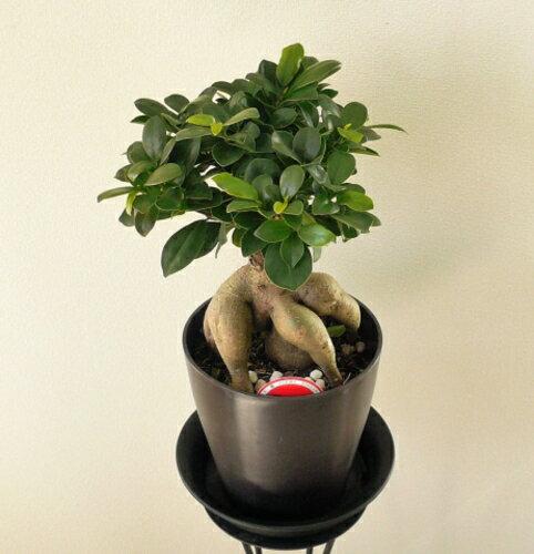 観葉植物 ガジュマル 5号 【開店祝い】【新築祝い】【誕生日】