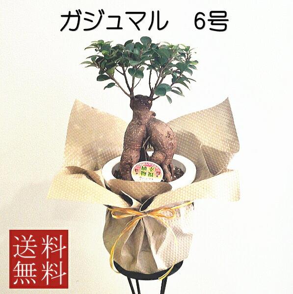 観葉植物 ガジュマル 6号【敬老の日のお祝い】【開店祝い】【新築祝い】【誕生日】