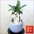 観葉植物ガジュマル5号【開店祝い】【新築祝い】【誕生日】【退職祝い】