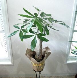観葉植物 パキラ 6号 【開店祝い】【新築祝い】【誕生日】【退職祝い】【あす楽】