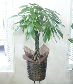 観葉植物 パキラ バスケット・鉢皿付き 7号【開店祝い】【新築祝い】【誕生日】【御祝い】