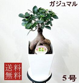 観葉植物 ガジュマル 5号 幸運を呼び込む精霊が住む木 【お中元】【開店祝い】【新築祝い】【誕生日】