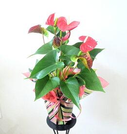 【アンスリウム】鉢花【送料無料】【父の日】【誕生日】【御祝い花】