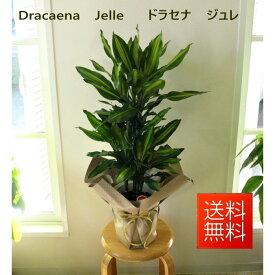 ジュレ 観葉植物 ドラセナ ジェレ 幸福の木 7号鉢 大型 幸せの木 開店祝い インテリア 開業祝い 人気 誕生日 新生活 引越し祝い オフィス【あす楽対応】