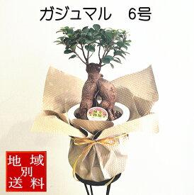 観葉植物 ガジュマル 6号 幸運を呼び込む精霊が住む木【お中元】【暑中見舞い】【退職祝い】【開店祝い】【新築祝い】【誕生日】