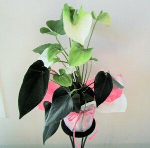 【アンスリウム白】鉢花【送料無料】【お歳暮】【誕生日】【御祝い花】【父の日】