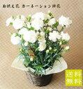 白いカーネーション鉢花 バスケット付き お供え花【母の日】【カーネーション】【カーネーション鉢植え】【カーネー…
