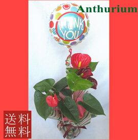 バルーン【アンスリウム】鉢花【送料無料】【誕生日】【御祝い花】バルーン変更可能!