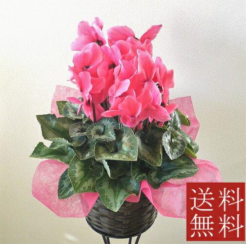 【シクラメン】鉢花【送料無料】【誕生日】【御祝い花】【送別会】