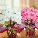 造花 鉢花 胡蝶蘭 の 鉢植え 九州 送料無料 プレゼント 2本立 大輪 あす楽 お祝い 開店 花 還暦 開院 開業 移転 就任 栄転 昇進 退職 …