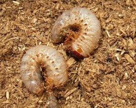 国産カブトムシ 幼虫1匹