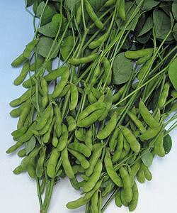 枝豆種子 タキイ種苗 快豆黒頭巾 枝豆 1L