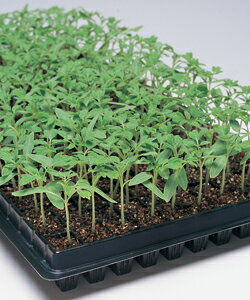 台木用トマト種子 タキイ種苗 グリーンガード 1000粒