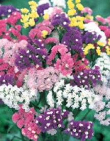 スターチス種子 サカタのタネ 花の種 サカタ 種 切り花用美色混合 小袋
